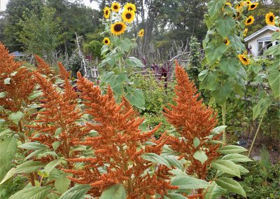 amaranth sunflower